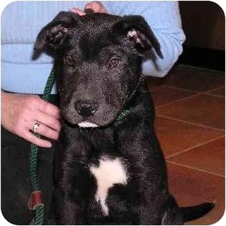 Labrador Retriever/German Shepherd Dog Mix Puppy for adoption in Brodheadsville, Pennsylvania - Indy