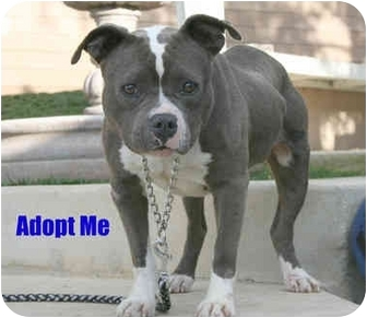 American Pit Bull Terrier/English Bulldog Mix Dog for adoption in Bellflower, California - Lil Apple