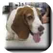 Basset Hound Dog for adoption in Marietta, Georgia - Garrett