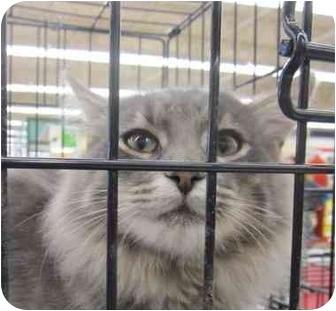 Domestic Longhair Cat for adoption in Washington, Pennsylvania - Perpper