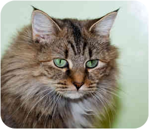 Domestic Longhair Cat for adoption in Warren, Pennsylvania - Hope