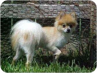 Pomeranian Dog for adoption in Lake Jackson, Texas - Gummy Bear