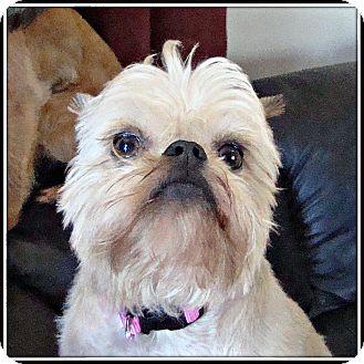 Brussels Griffon Dog for adoption in Lemont, Illinois - BEULAH - ADOPTION PENDING