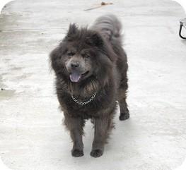 Chow Chow Mix Dog for adoption in Tustin, California - Katyara