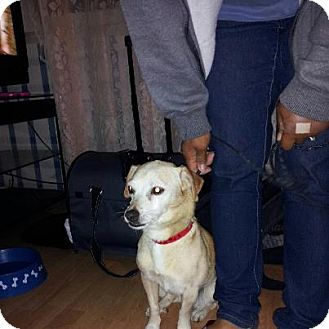 Chihuahua Mix Dog for adoption in Rowlands, California - Dion