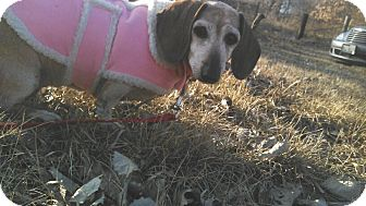 Dachshund Dog for adoption in Geneseo, Illinois - Molly