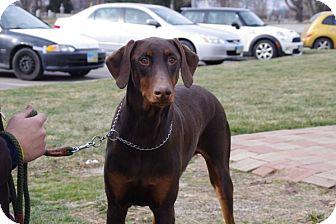 Doberman Pinscher Dog for adoption in Elyria, Ohio - Finn