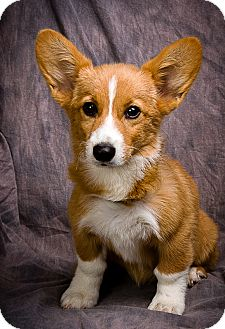 Pembroke Welsh Corgi Puppy for adoption in Anna, Illinois - BRIDGET