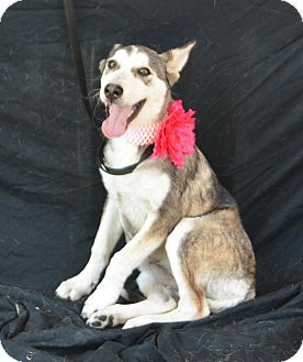 Husky Mix Puppy for adoption in Plano, Texas - Ariel