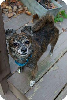 Chihuahua Mix Dog for adoption in Kimberton, Pennsylvania - Pretty