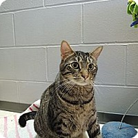 Domestic Shorthair Cat for adoption in House Springs, Missouri - Barrel