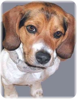 Beagle Dog for adoption in Grass Valley, California - Homer