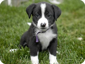 Border Collie/Spaniel (Unknown Type) Mix Puppy for adoption in Detroit, Michigan - Glory-Adopted!