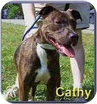 American Staffordshire Terrier/Plott Hound Mix Dog for adoption in Aldie, Virginia - Cathy
