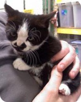 Domestic Shorthair Cat for adoption in East Brunswick, New Jersey - TJ