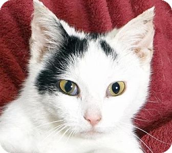 Domestic Shorthair Cat for adoption in Renfrew, Pennsylvania - Kit-Kat