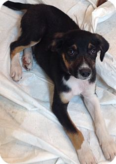 Australian Shepherd/Shepherd (Unknown Type) Mix Puppy for adoption in Palatine, Illinois - Fudge