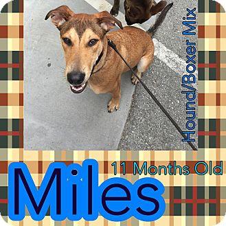 Hound (Unknown Type)/Boxer Mix Dog for adoption in Jacksonville, North Carolina - Miles