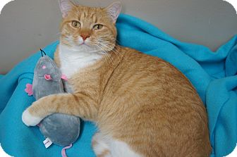 Domestic Shorthair Cat for adoption in Seymour, Connecticut - Calvin