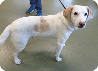 Pointer Mix Dog for adoption in Harrisonburg, Virginia - Galahad