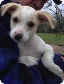 Terrier (Unknown Type, Small) Mix Puppy for adoption in Saddle Brook, New Jersey - Ben