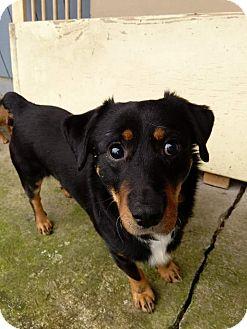 Rottweiler Mix Dog for adoption in Salem, Oregon - Tuscan