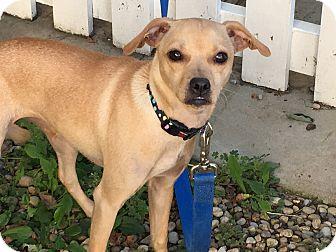 Chihuahua Mix Dog for adoption in LaGrange, Kentucky - LOLA