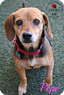 Beagle Mix Dog for adoption in Youngwood, Pennsylvania - Pepe