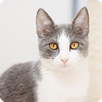 Adopt A Pet :: Storm - Fountain Hills, AZ
