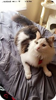 Domestic Longhair Cat for adoption in Apex, North Carolina - Zander