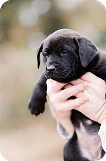 Labrador Retriever/Hound (Unknown Type) Mix Puppy for adoption in Seneca, South Carolina - Pocahontas $250