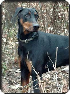 Doberman Pinscher Dog for adoption in Columbus, Ohio - Schmidt