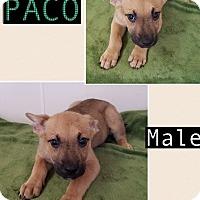 Adopt A Pet :: Paco-pending adoption - East Hartford, CT