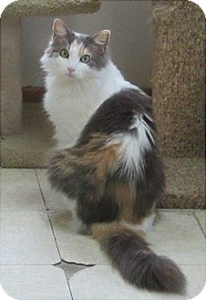 Calico Cat for adoption in Glenwood, Minnesota - Marcy