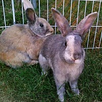Adopt A Pet :: Zippy & Jester - Los Angeles, CA