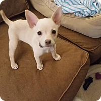 Adopt A Pet :: Harley (female) - Puppy - Dallas, TX