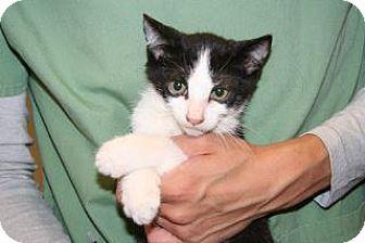 Domestic Shorthair Kitten for adoption in Wildomar, California - 356806