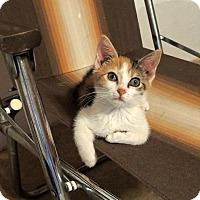 Adopt A Pet :: Cali - Knoxville, TN