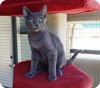 Domestic Shorthair Kitten for adoption in Lathrop, California - Celine