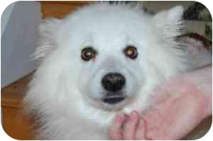 American Eskimo Dog Dog for adoption in Rigaud, Quebec - Coquette