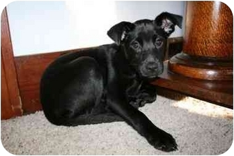 Labrador Retriever Mix Puppy for adoption in Falls City, Nebraska - Abbie