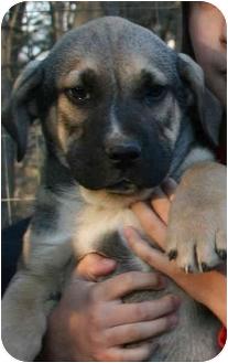 Hound (Unknown Type)/Shepherd (Unknown Type) Mix Puppy for adoption in Spring Valley, New York - Buck