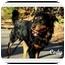 Photo 4 - Rottweiler Dog for adoption in Darlington, Maryland - Cody/Blitz