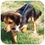 Photo 4 - Sheltie, Shetland Sheepdog Mix Dog for adoption in Osseo, Minnesota - Andy
