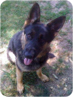 German Shepherd Dog Dog for adoption in Pike Road, Alabama - King