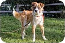 Golden Retriever/St. Bernard Mix Dog for adoption in El Cajon, California - Bernard