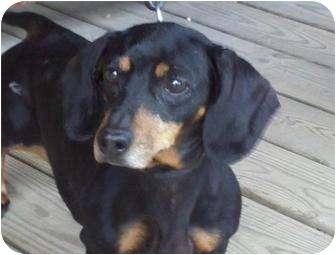 Dachshund Dog for adoption in Brattleboro, Vermont - Bonny