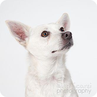 Shiba Inu Mix Dog for adoption in Los Angeles, California - Sierra
