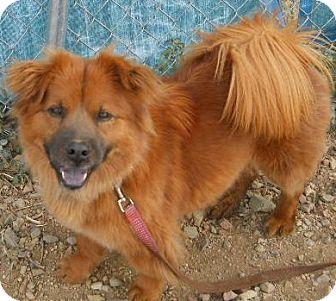 Chow Chow/Corgi Mix Dog for adoption in dewey, Arizona - Angel