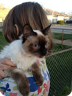 Himalayan Cat for adoption in Ogden, Utah - Sonya